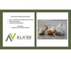 Praca produkcyjna przy cebulkach w Holandii - wyjazd 22-07